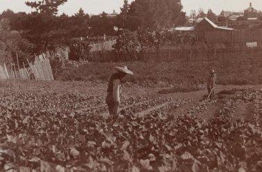 Tìm hiểu về lịch sử những vườn rau của người Hoa